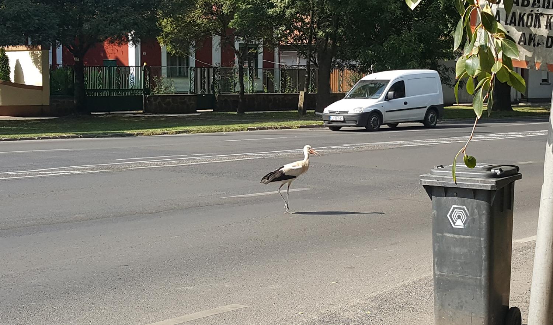 Befogták, megetették, majd elengedték a Jókai utcán észlelt gólyát