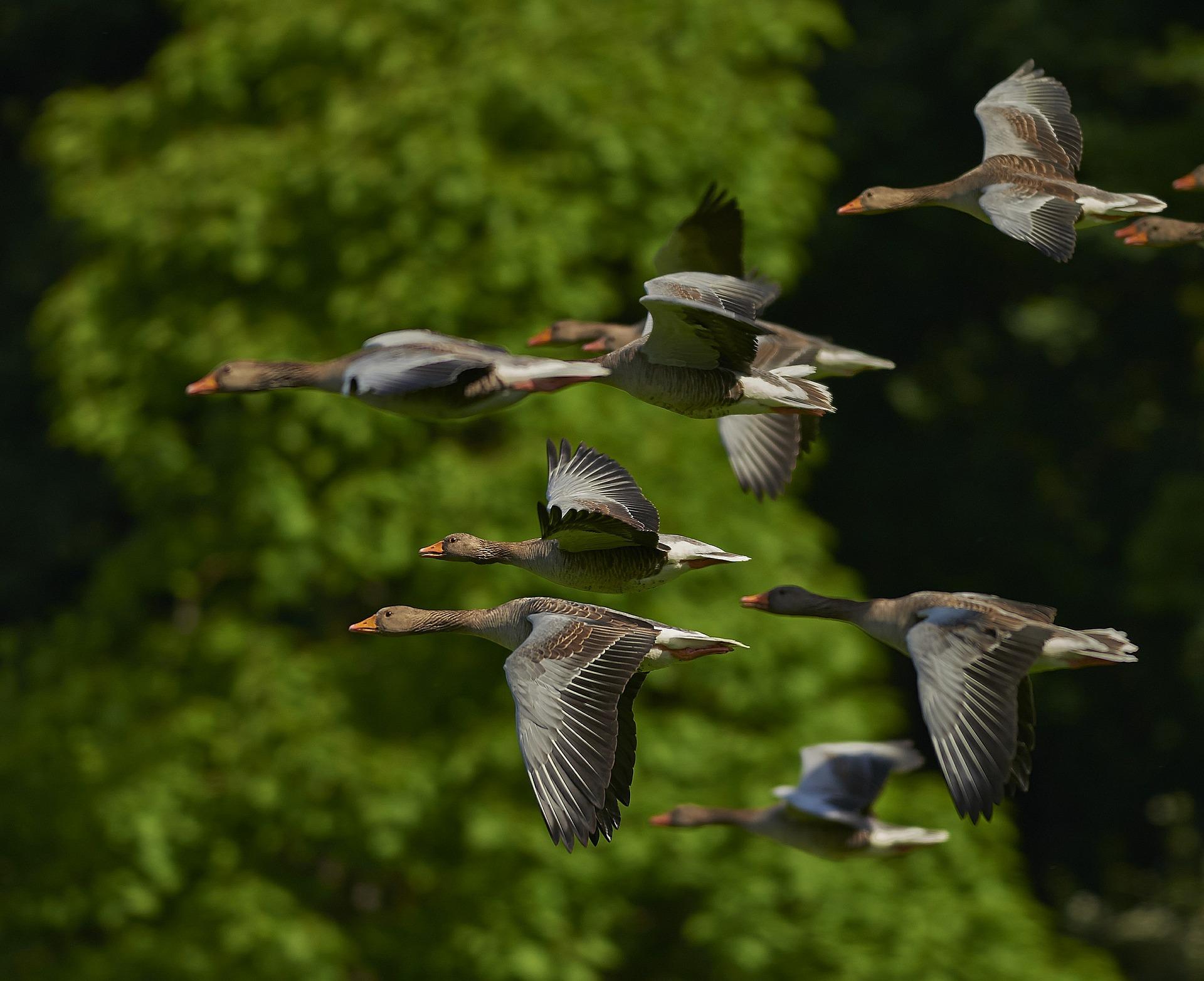 Mintegy nyolcmilliárd madár vándorol az Egyesült Államok légterében