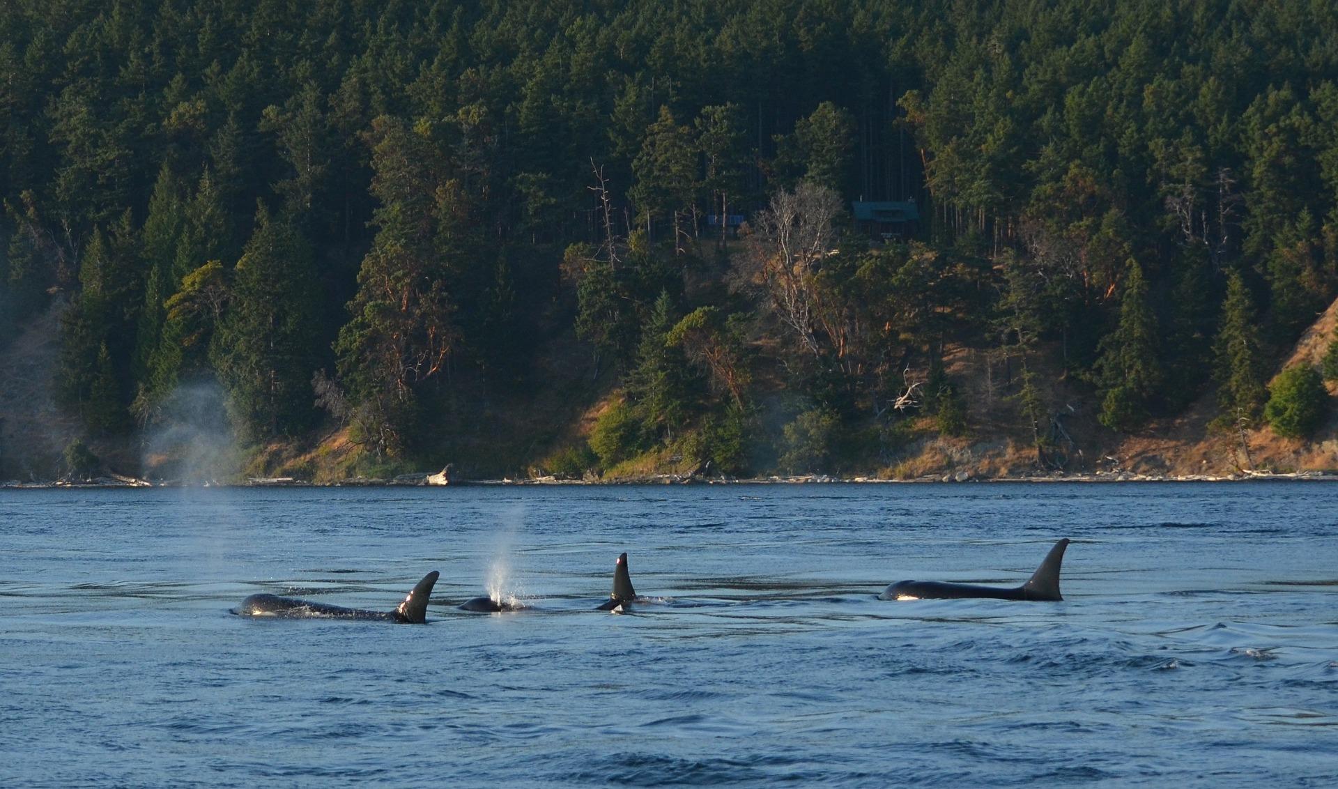 Komoly fenyegetést jelent a kardszárnyú delfinekre a PCB-szennyezés