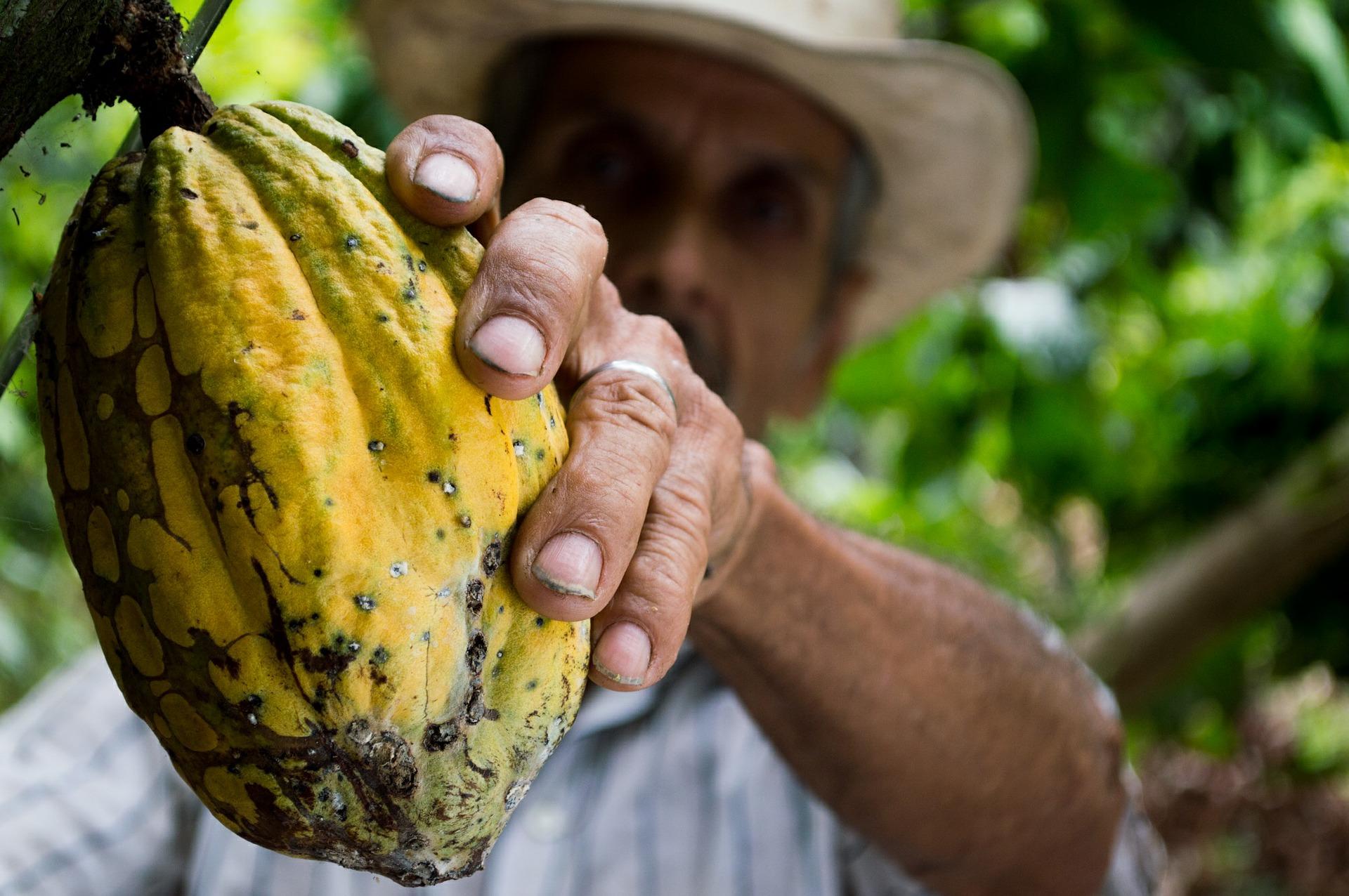 Már 3600 éve termeszthetjük a csokoládé alapanyagát
