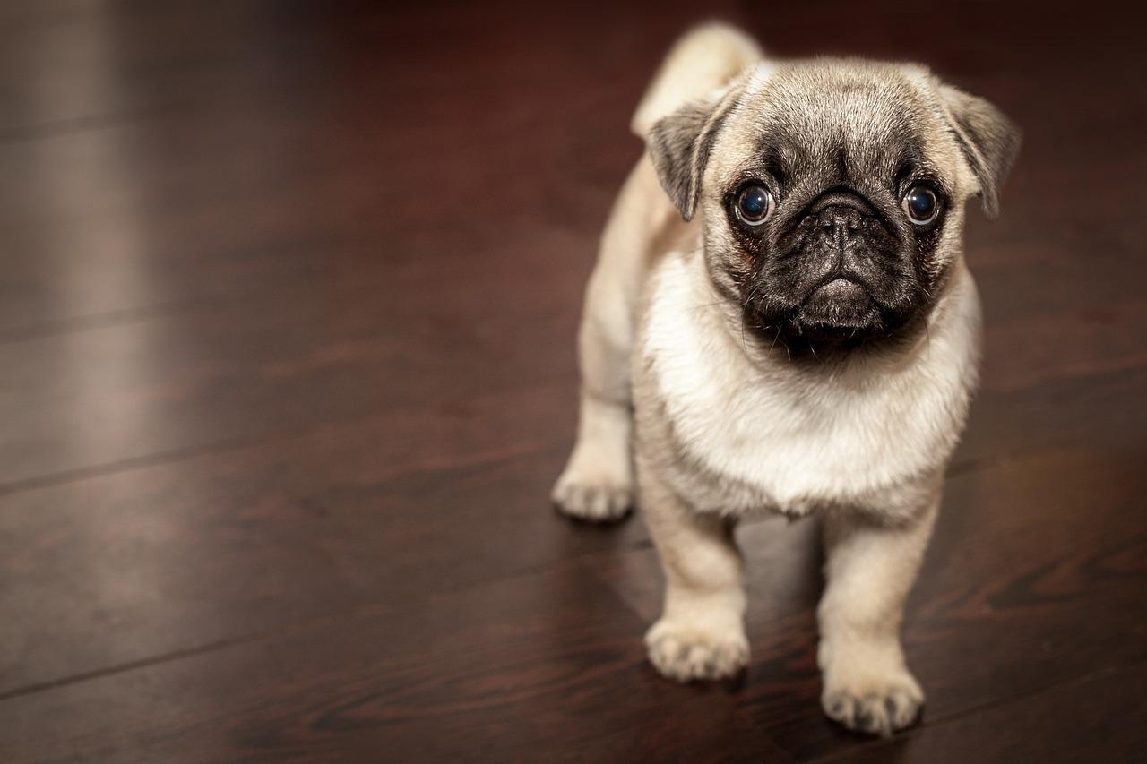 Az elhízás a kutyák életét is rövidíti
