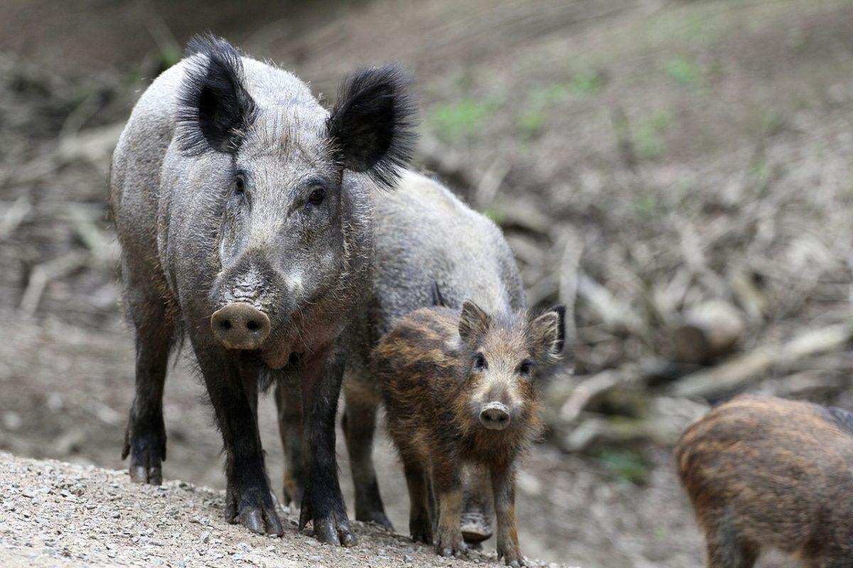 Elérhető a vaddisznóállomány szabályozásáról szóló Nemzeti Akcióterv