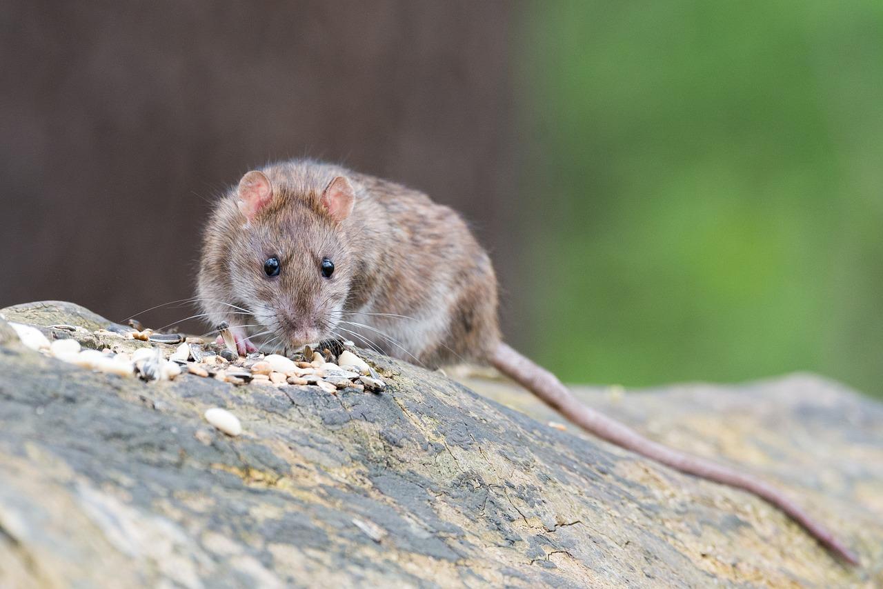 Patkányokat észleltek egy hulladéktároló mellett Békéscsabán
