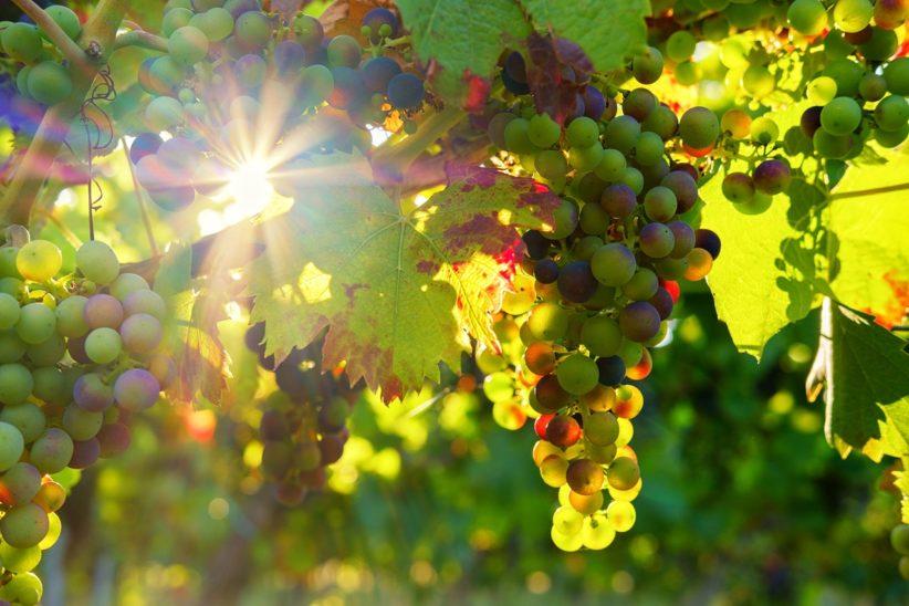 szőlőkártevők