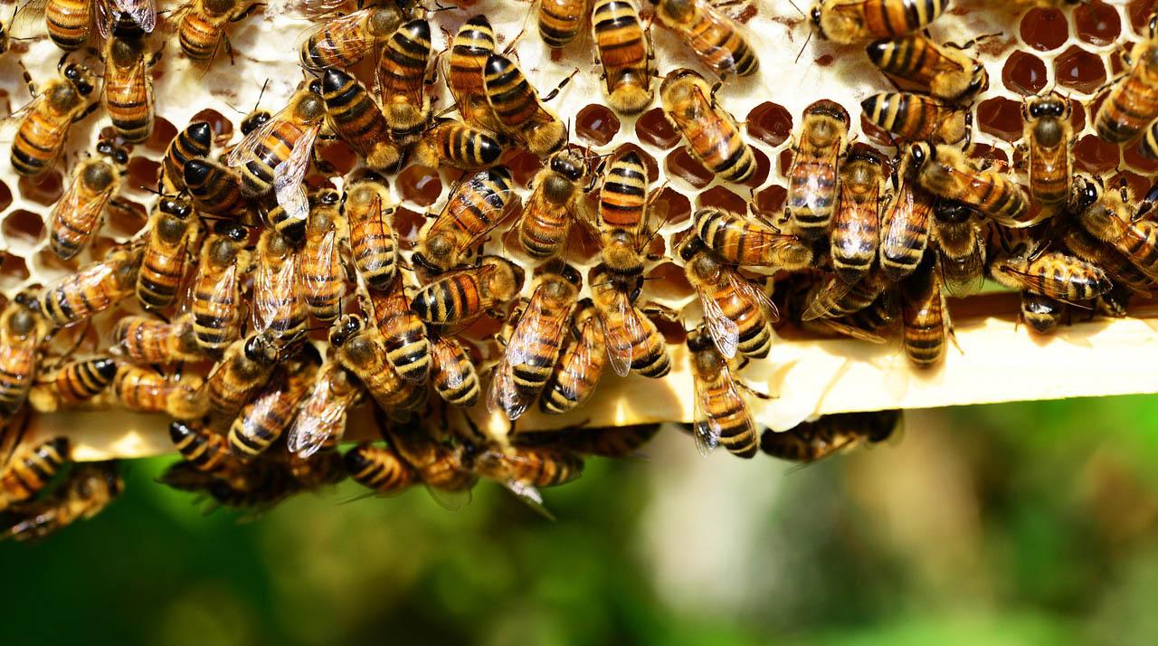 Mi lenne velünk házi méhek nélkül?