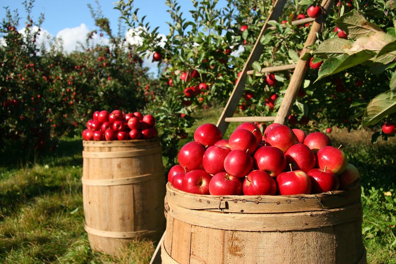 Az almafák vannak többségben a magyar gyümölcsösökben
