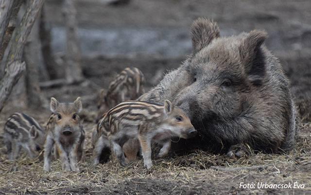 Kilenc vadmalac született a nemzeti parkban