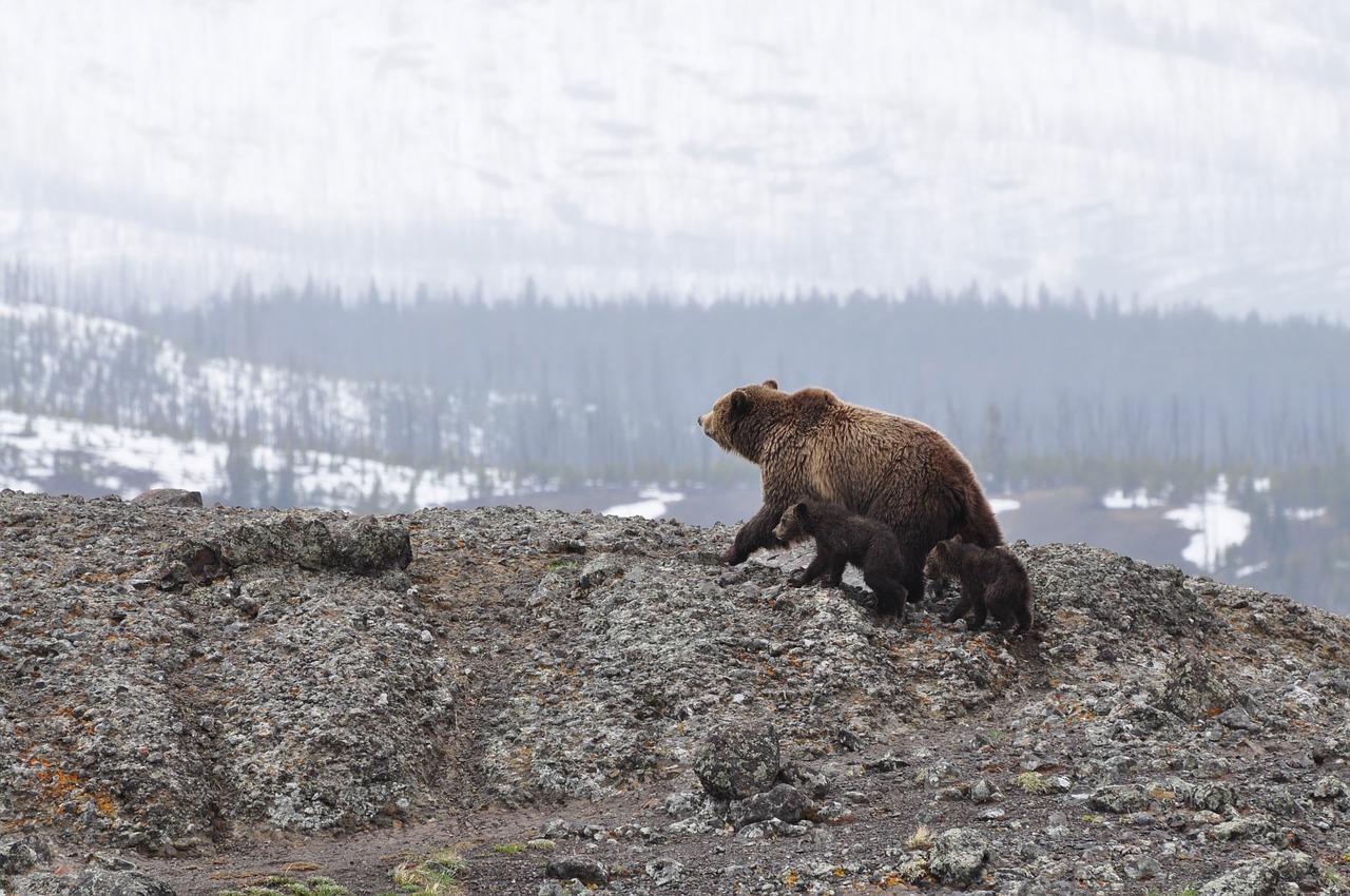 Vizsgálatot indított a Hargita megyei rendőrség feltételezett medvecsempészet ügyben