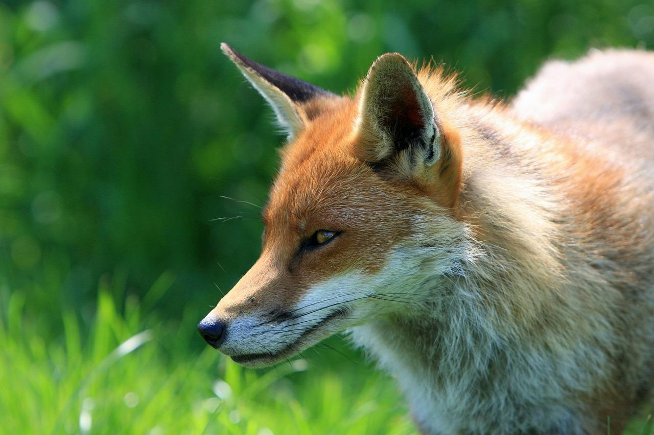 Kezdődik a rókák veszettség elleni immunizálása