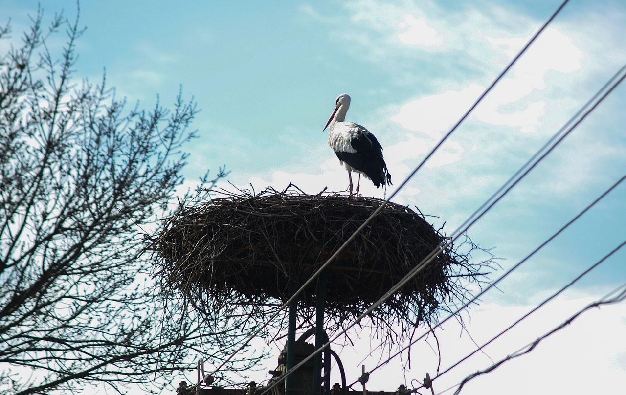 Visszatért az egyik gólya Békéscsabára