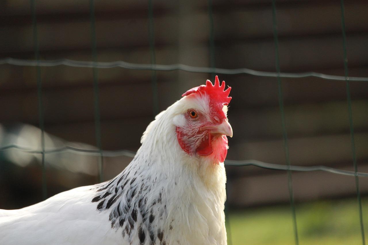 Idén közel 13 milliárd forint jut baromfi állatjóléti támogatásra