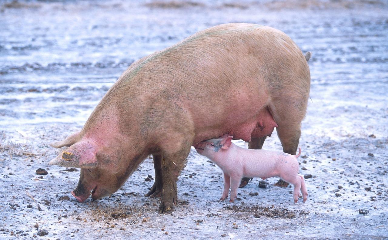 Változott a sertés állatjóléti támogatások igénylése