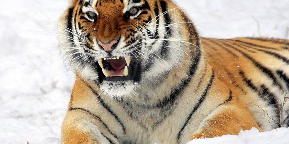 tigris, kihalás