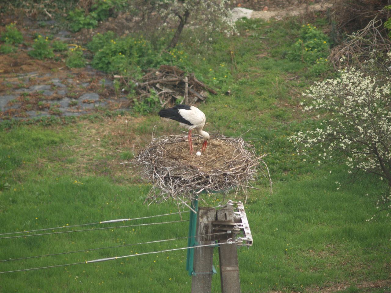 Megérkezett a békéscsabai gólyapár első tojása!