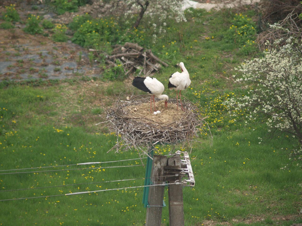 Megjött a második tojás is a békéscsabai fészekbe