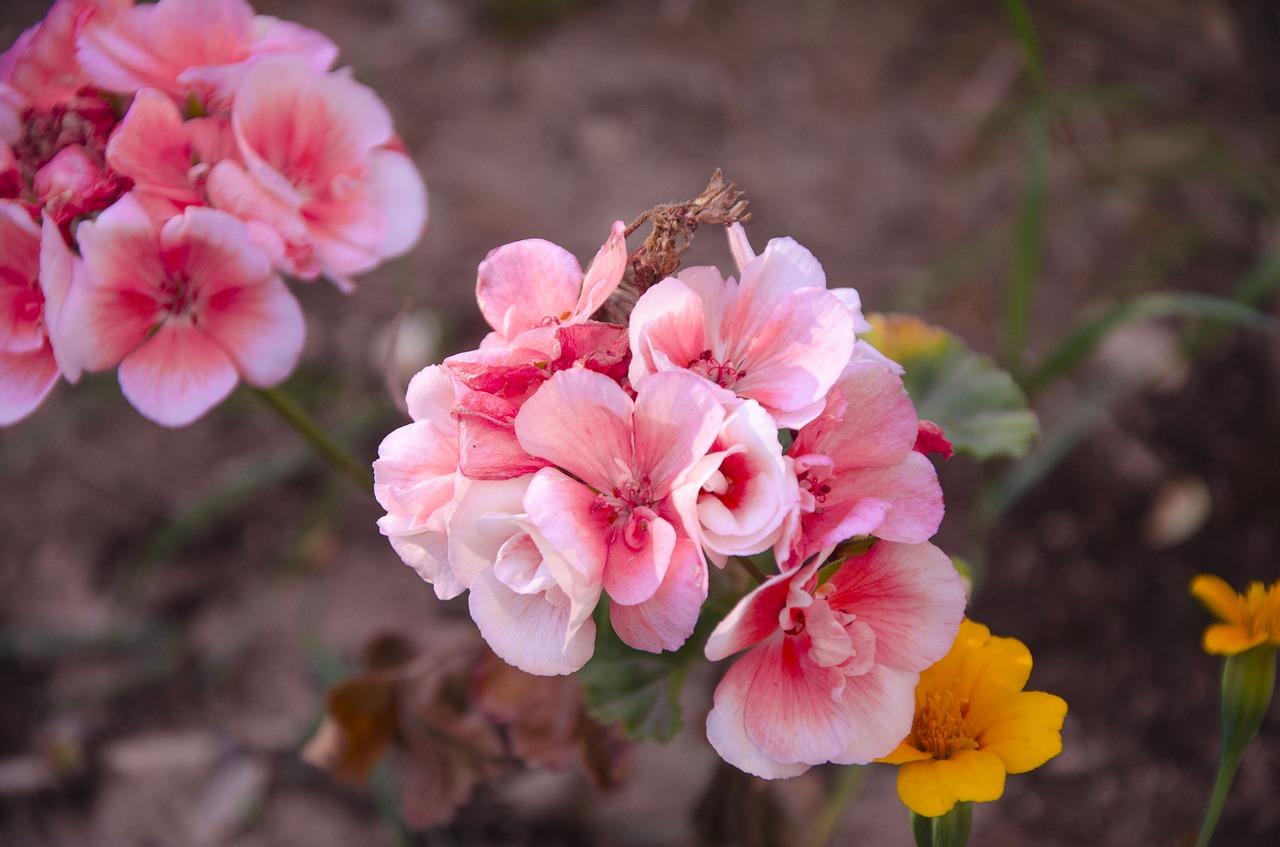 Virágpalántát osztanak Békéscsabán