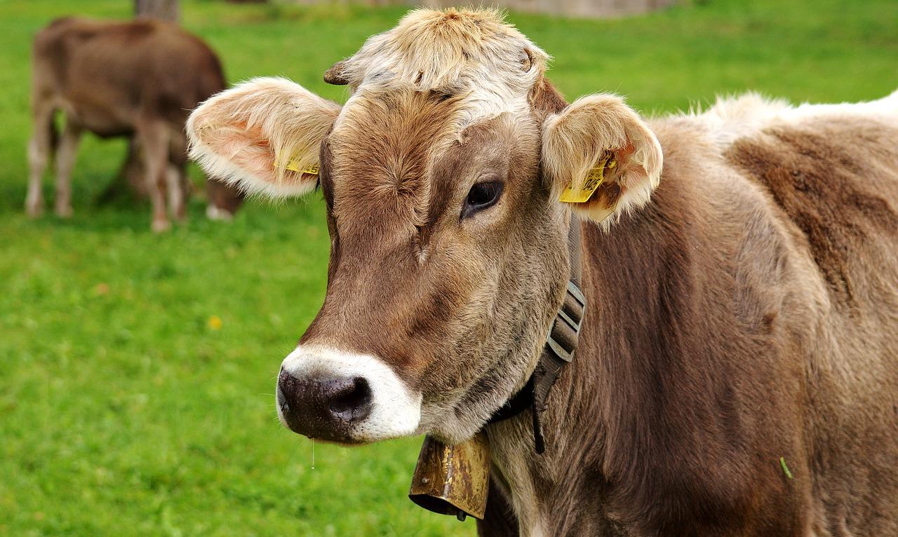 További intézkedések történtek a Kötegyánban árult, lépfenével fertőzött hús kapcsán