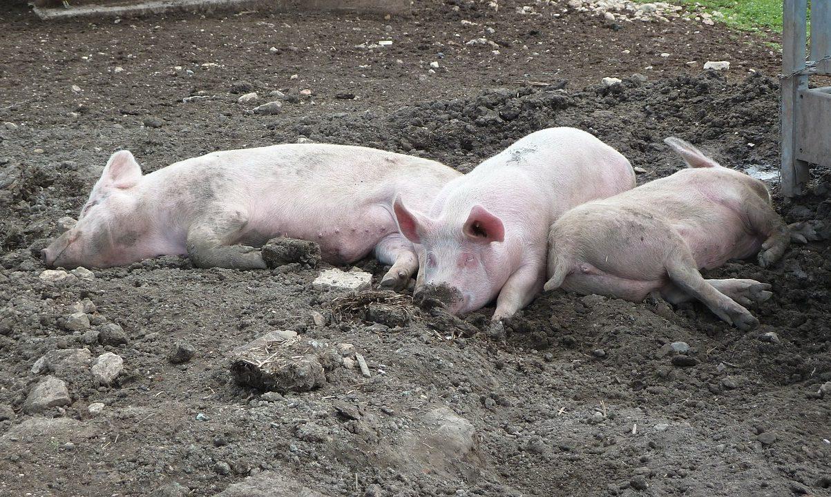 Hatalmasat drágulhat a disznóhús Magyarországon, ha ez így megy tovább