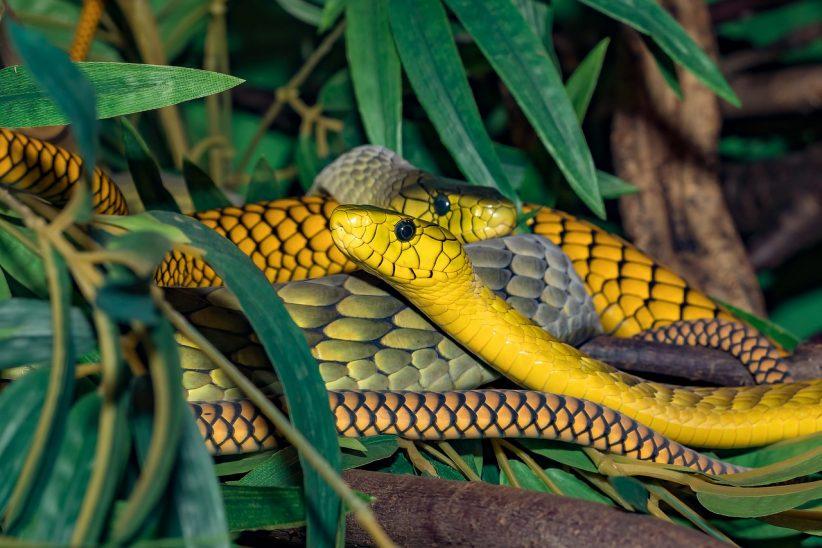 kígyómarás