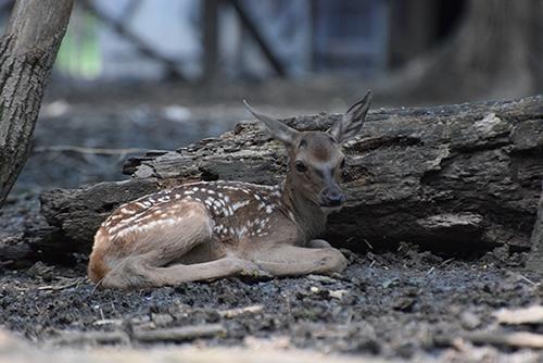 Gímszarvas-borjú született a Körösvölgyi Állatparkban