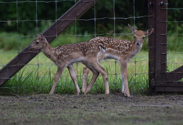 Két dámszarvasborjú született a Körösvölgyi Állatparkban