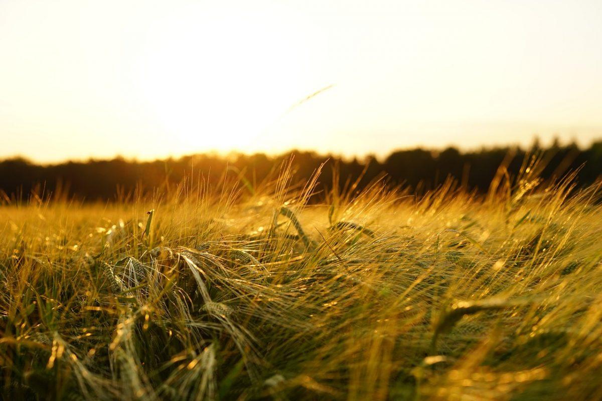 Június végén megkezdődtek az aratási munkák