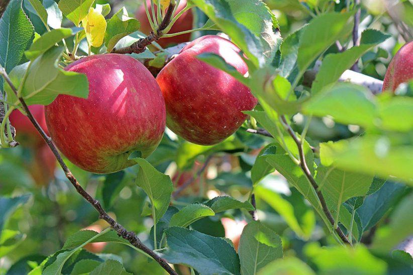 zártkerti, alma, almatermelése