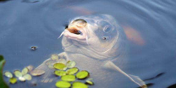 orvhalászat, halgazdálkodási, halőri