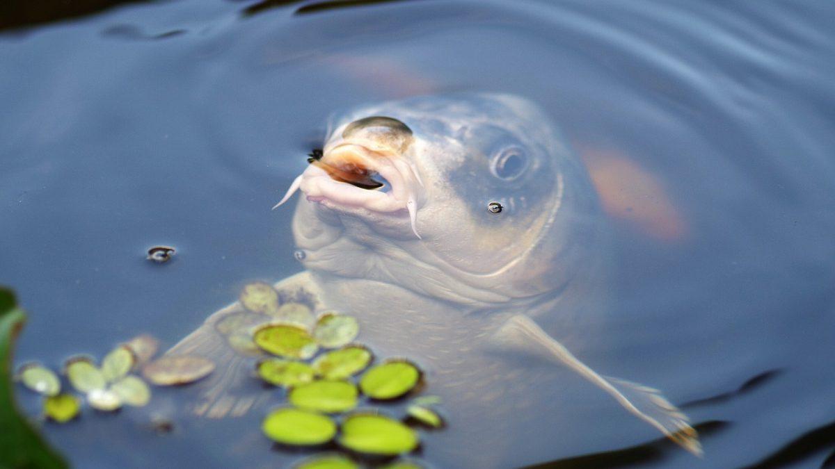 Növekedésnek indult a hazai halgazdálkodási ágazat