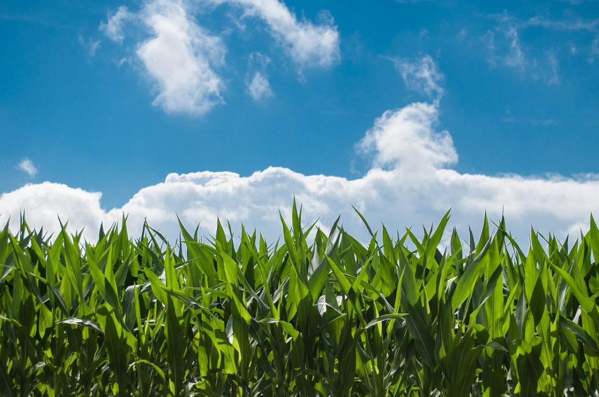 Több takarmánykukoricát és repcét tartalmazhatnak a bioüzemanyagok