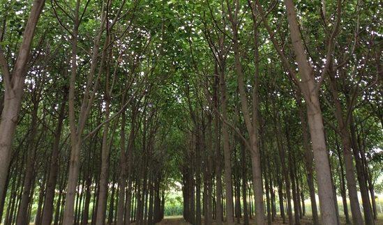 Magyar siker: smaragdfa nevelésével tesznek a környezetért