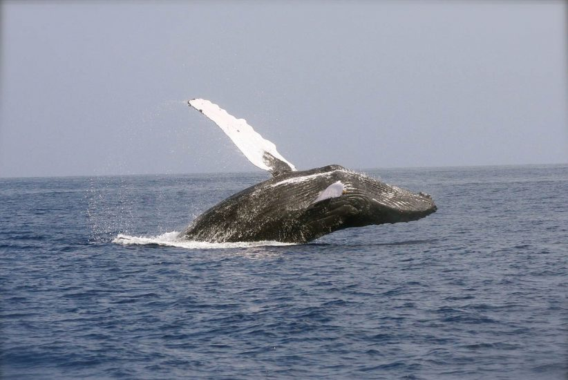bálnavadászat