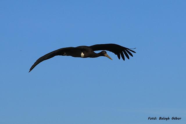 Újra két pár fekete gólya költött sikeresen a Kis-Sárréten