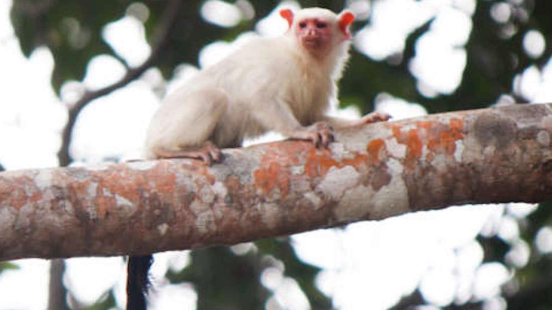Mico munduruku: új selyemmajomfajt fedeztek fel Brazíliában