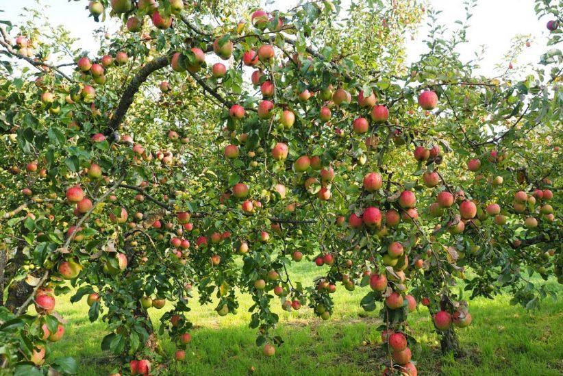 alma, idénymunkások, csapdák, zártkerti, gyümölcs