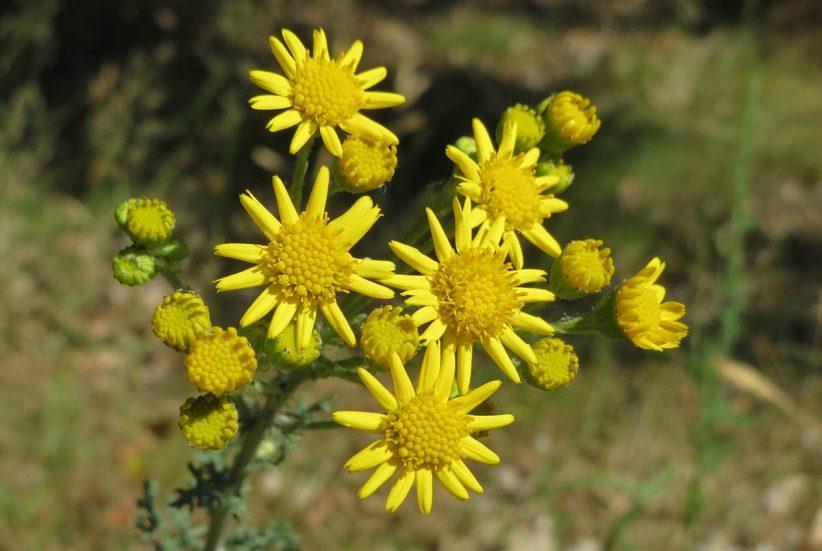 pollen, allergia