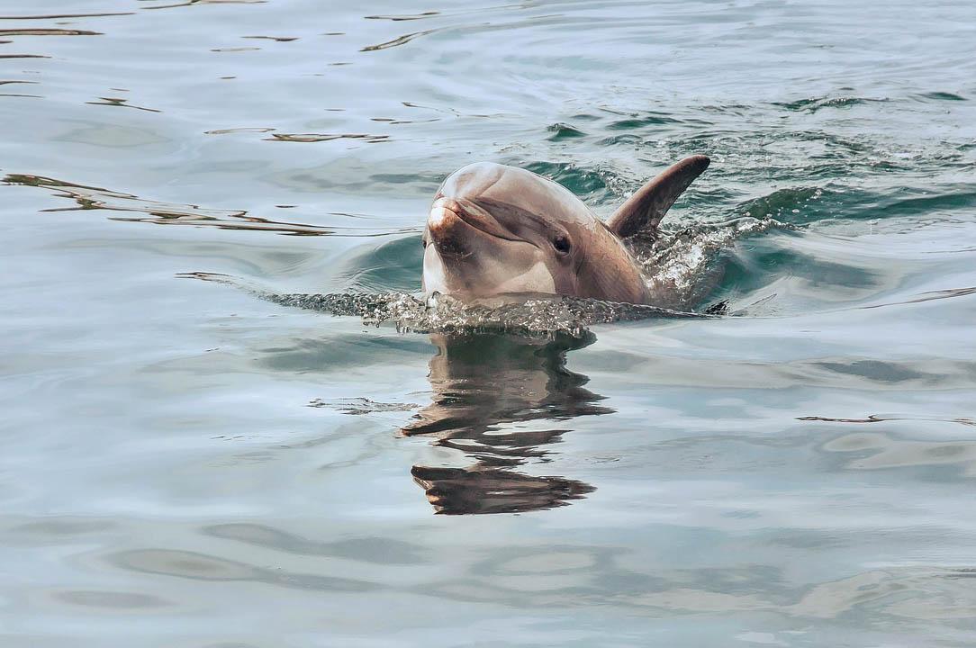 A hím delfinek egymáshoz igazítják füttyögésük ütemét, amikor együttműködnek