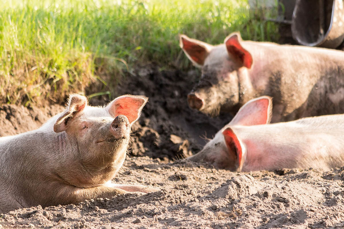 Újabb 13 ezer sertés elpusztításáról döntött a hatóság Romániában