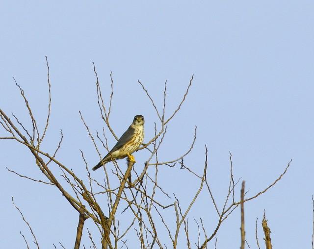 ragadozó madarak