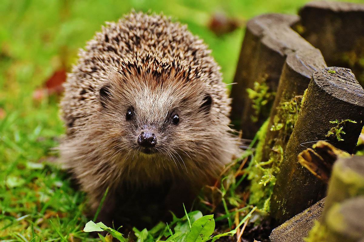 Állatkerti figyelemfelhívó kampány a sünök védelméért
