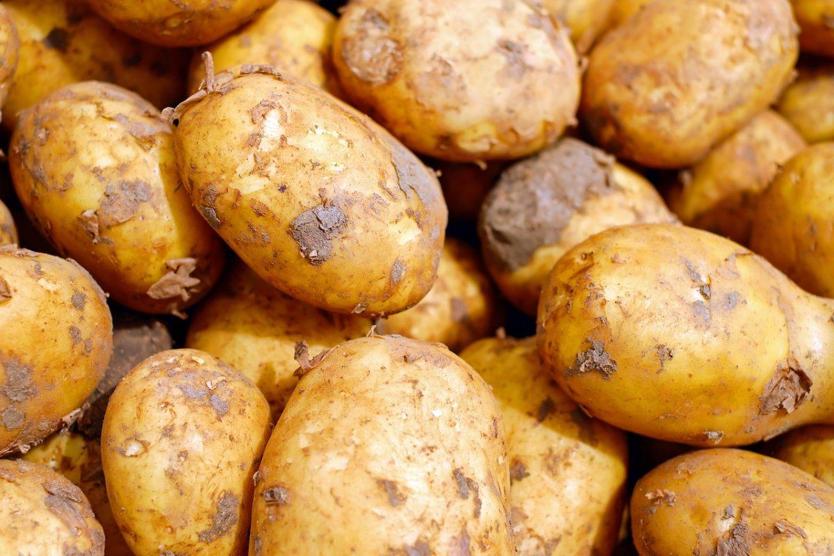 Őszi mezőgazdasági munkák: jónak ígérkező burgonyatermés