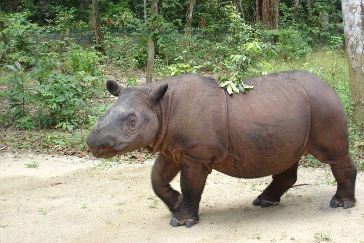 Elpusztult az utolsó szumátrai orrszarvú Malajziában