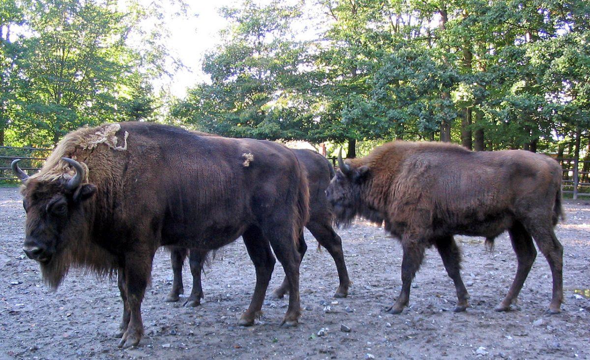 Vadon élhetnek európai bölények az Őrségi Nemzeti Parkban