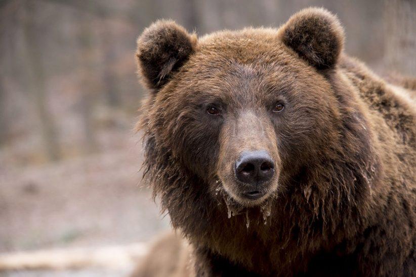 medve, medvetámadás