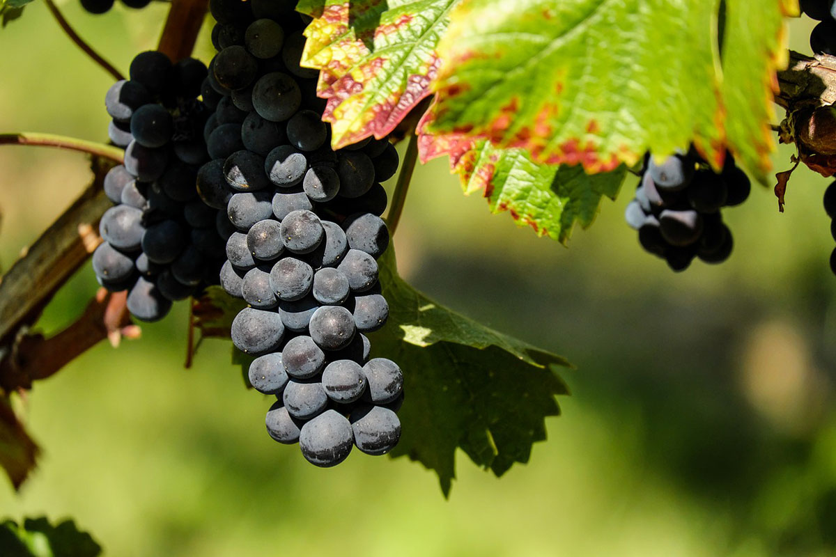 Hétfőtől pályázhatnak a szőlészek-borászok a kárenyhítést szolgáló támogatásra