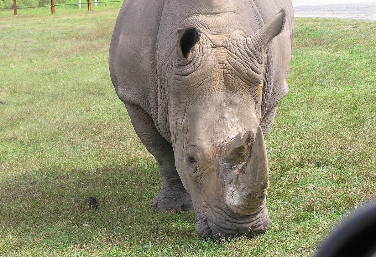 rinocérosz, állat