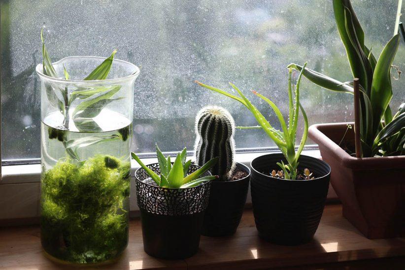 szobanövény, növény