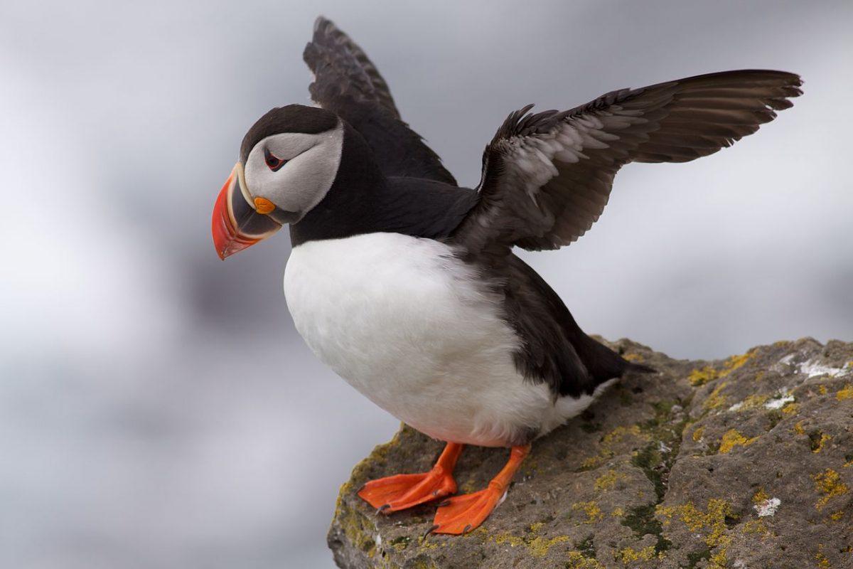 Először találtak bizonyítékot tengeri madarak eszközhasználatára