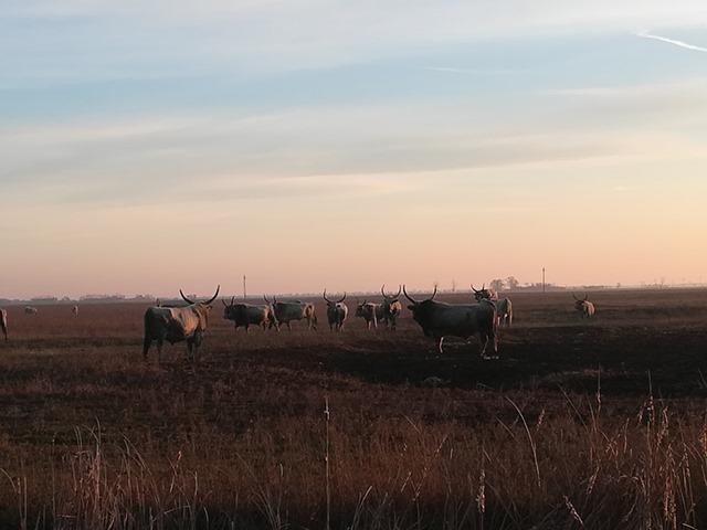 Hajnalban csatáznak a Körös-Maros Nemzeti Park magyar szürkemarha bikái