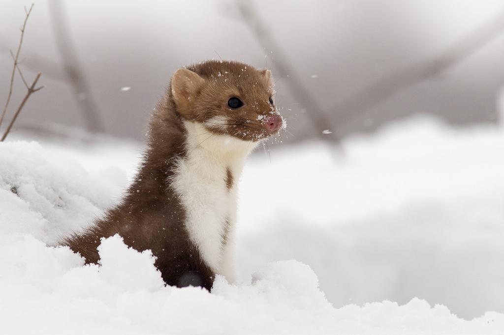 Többféle emlős ragadozó is megfigyelhető a Kis-Sárrét területén